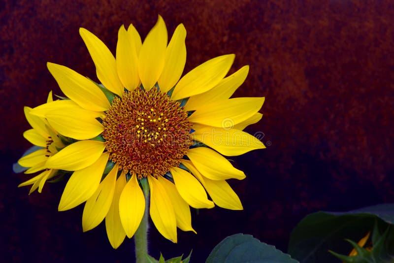 Vibrant sunflower against dark background. Close up of a vibrant sunflower against dark background in a garden royalty free stock photo