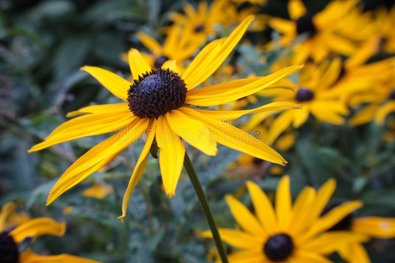 A close up of vibrant yellow black eyed susan royalty free stock photos