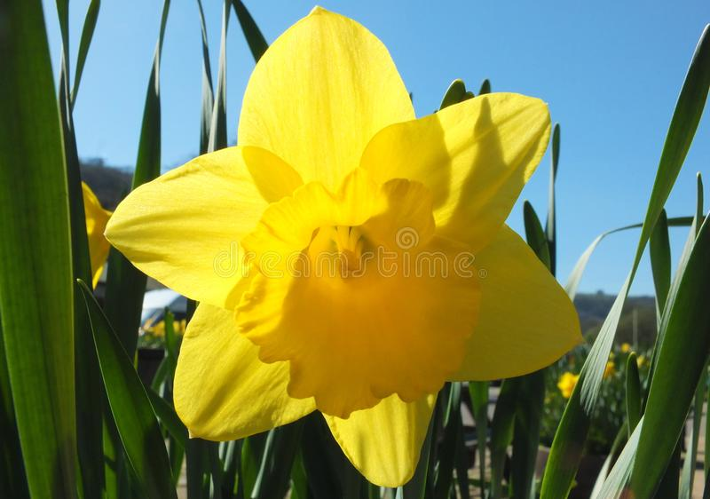Close up of a vibrant yellow spring daffodil against a bright blue sunlit sky royalty free stock photos
