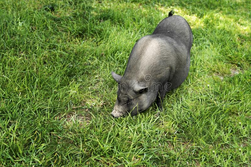 Close-up of a Vietnamese pig with soil in the background royalty free stock image