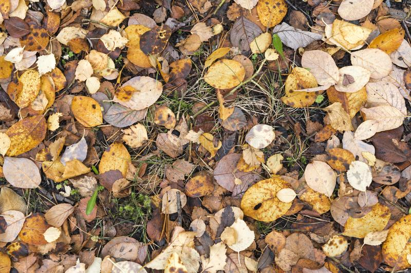Future mulch. A close-up view from above of dead leaves from various species of trees covering the ground in a scottish forest in Autumn. 18 October 2018 stock photos