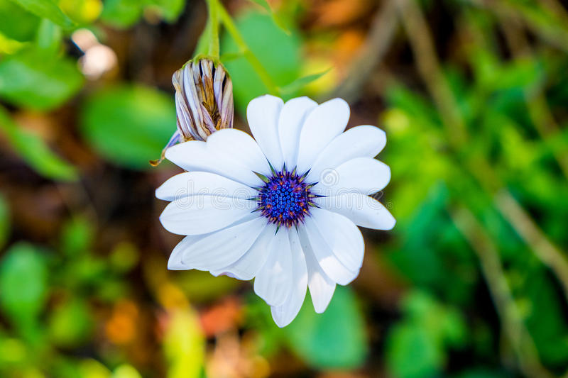 Close up view from above of white daisy sun marigold stock photography