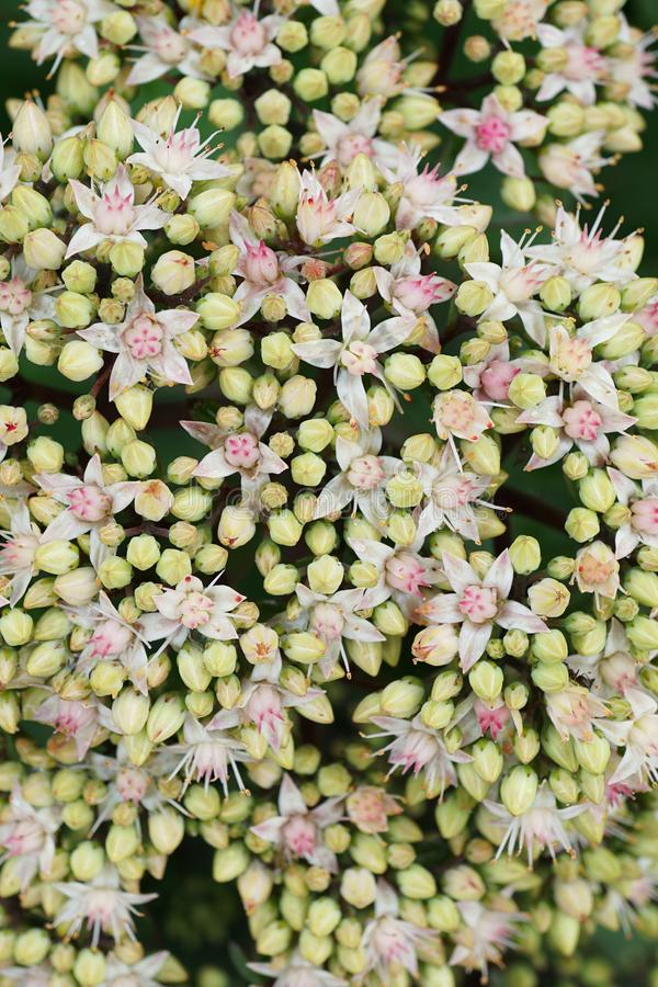 Close-up view from above of white-pink stonecrop flowers Sedum s stock photos