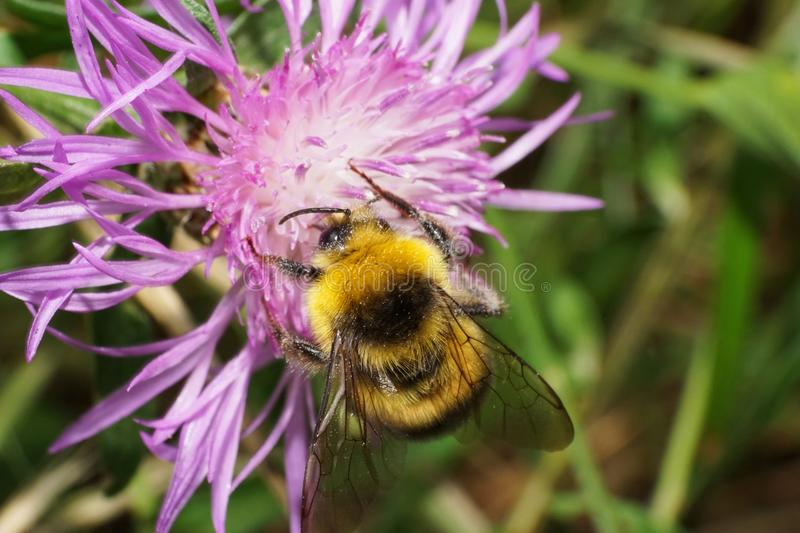 Close-up view from above of yellow-black caucasian bumblebee Bom royalty free stock photos