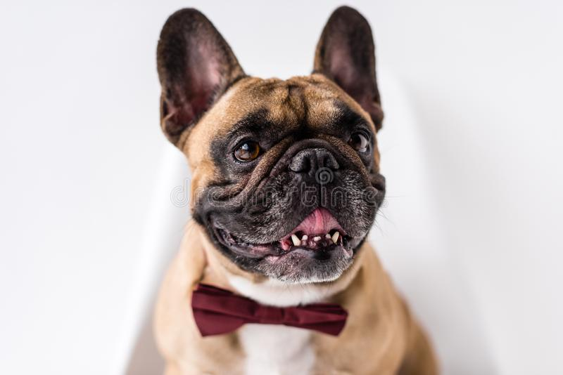 close-up view of adorable french purebred french bulldog with bow tie stock photography