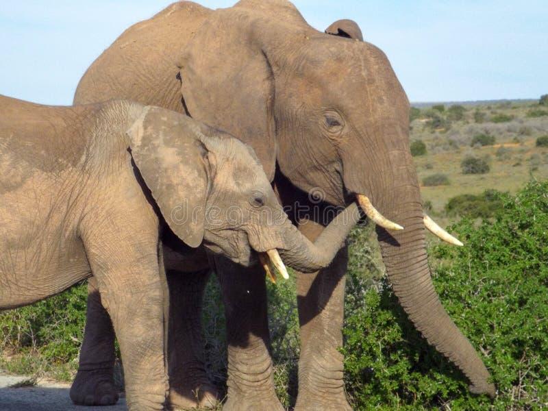 Elephant feeding on vegetation in the Addo Elephant Park, South stock photography