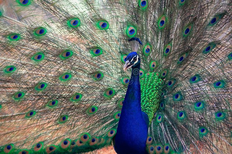 Close up view of The African peacock  a large and brightly coloured bird. stock images