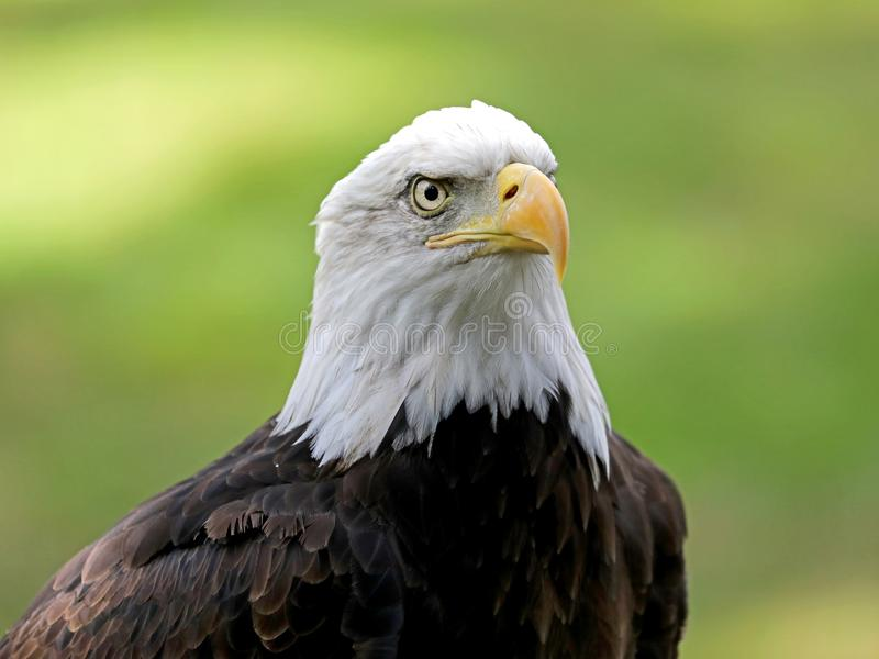 American Bald Eagle royalty free stock photo