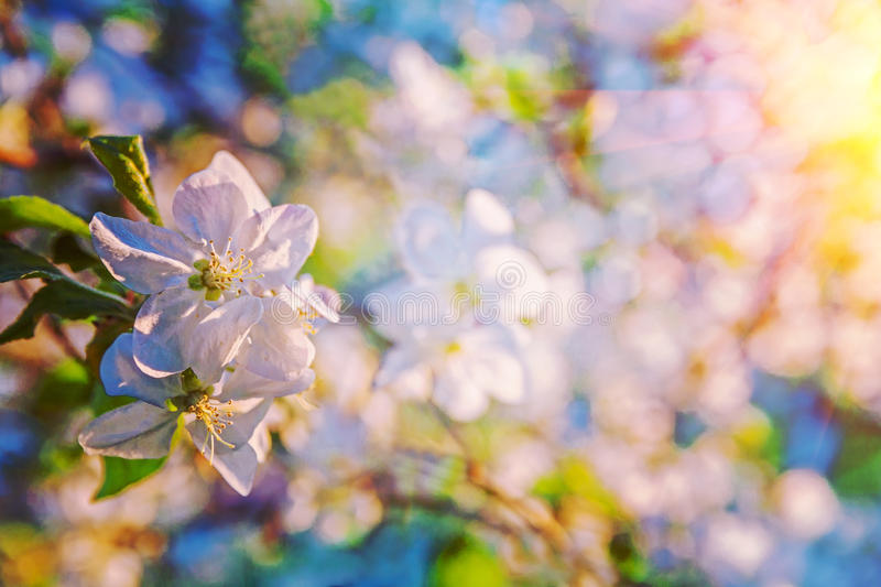 close up view on appletree flover on blurred background instagram stile stock photo