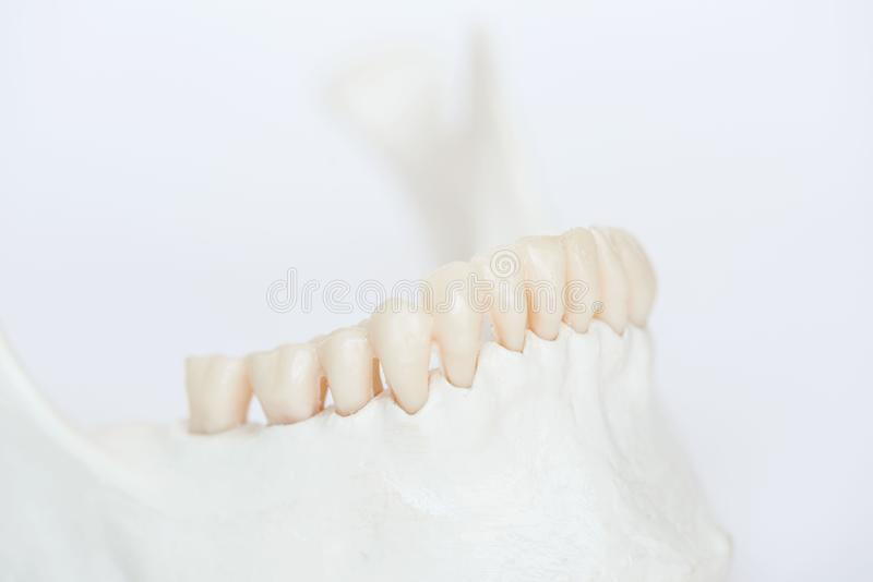 Close-up view of artificial human teeth on jaw bone model. Close-up side view of artificial human teeth on jaw bone model stock images