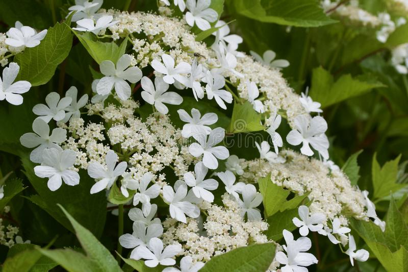 Close up view of attractive white flower clusters on a compact cranberry bush. Close up view of attractive creamy white flower clusters on a compact cranberry royalty free stock images