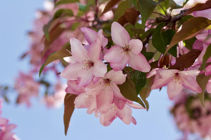 Close up view of a attractive pink crabapple blossoms in full bloom. With blue sky background royalty free stock photography