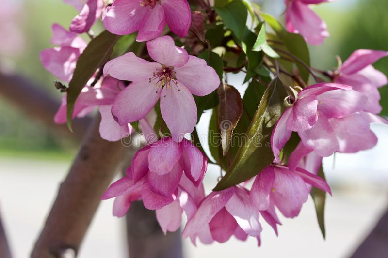Close up view of a attractive pink crabapple blossoms in full bloom. Close up view of a attractive pink and purple crabapple blossoms in full bloom with blue sky stock image