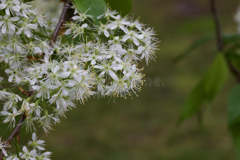 Close up view of attractive white Amur cherry flowers with defocused background. Close up view of attractive white Amur cherry Prunus maackii flowers and buds stock photography