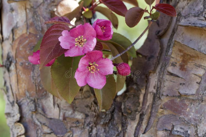 Close up view of attractive pink crabapple blossoms in full bloom. Close up view of a attractive white crabapple blossoms in full bloom on a tree trunk royalty free stock photo
