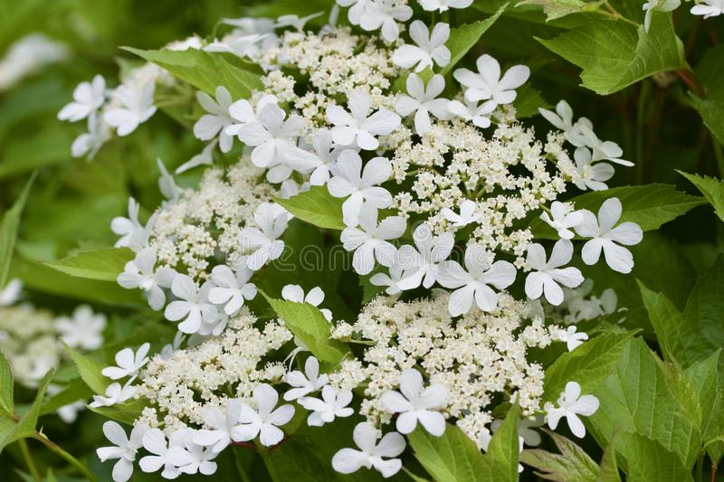 Close up view of attractive white flower clusters on a compact cranberry bush. Close up view of attractive creamy white flower clusters on a compact cranberry stock image