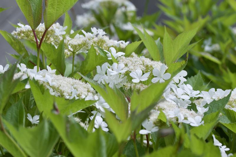 Close up view of attractive white flower clusters on a compact cranberry bush. Close up view of attractive creamy white flower clusters on a compact cranberry stock photo
