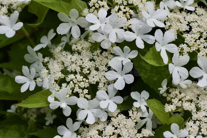 Close up view of attractive white flower clusters on a compact cranberry bush. Close up view of attractive creamy white flower clusters on a compact cranberry royalty free stock photography