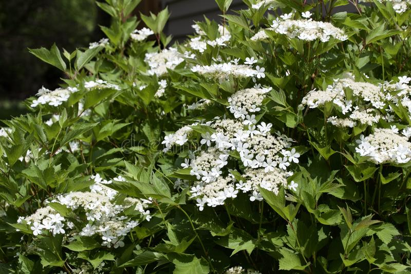 Close up view of attractive white flower clusters on a compact cranberry bush. Close up view of attractive creamy white flower clusters on a compact cranberry stock photos