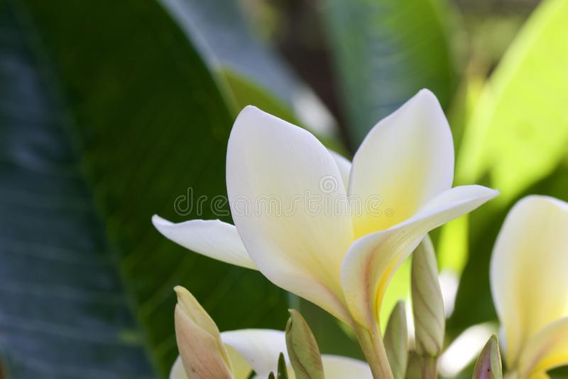 Close up view of an attractive white plumeria flower almost in full bloom. Close up view of an attractive white plumeria frangipani flower almost in full bloom stock photography