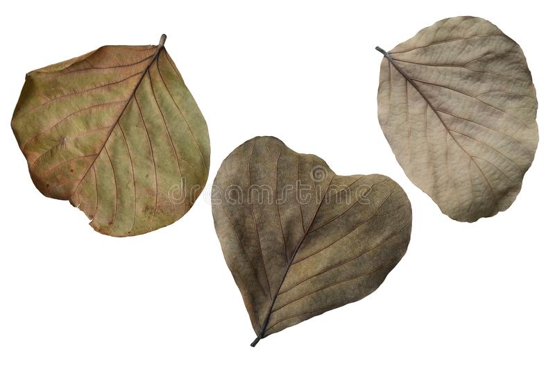 Close up view background dry leaves ,Isolated on white background with clipping path. stock image