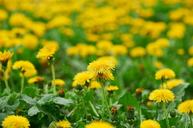 close-up view of beautiful blooming dandelions, stock image