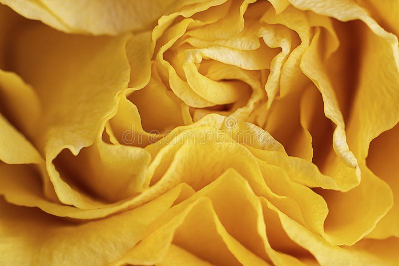 Close up view of a beautiful bright yellow rose with abstract curves of petals. Macro image. Fresh beautiful flower as expression stock image