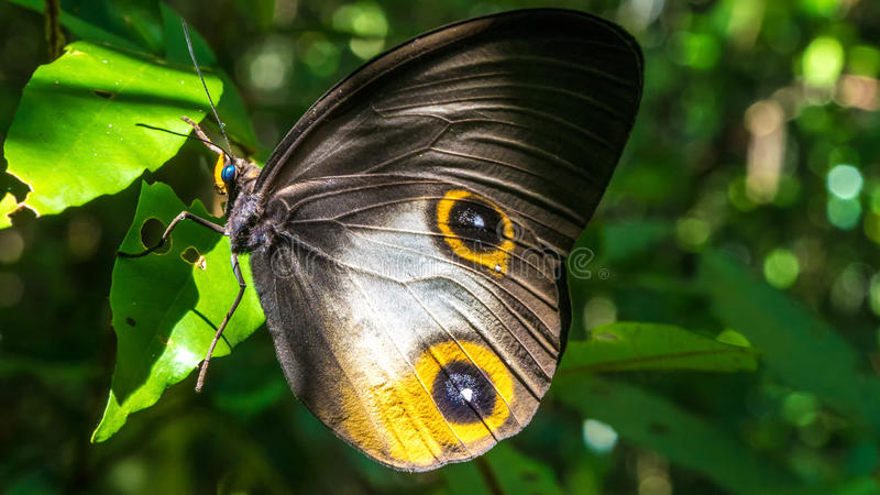 Close- up view of a beautiful Butterfly, Gam Island, Raja Ampat, Indonesia, West Papua royalty free stock photos