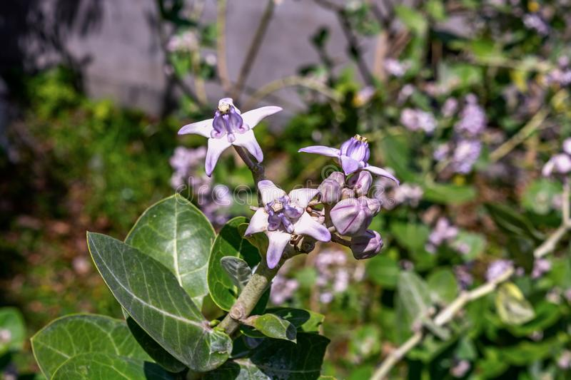Close up view of Calotropis gigantea flower also known as crown flower royalty free stock photography