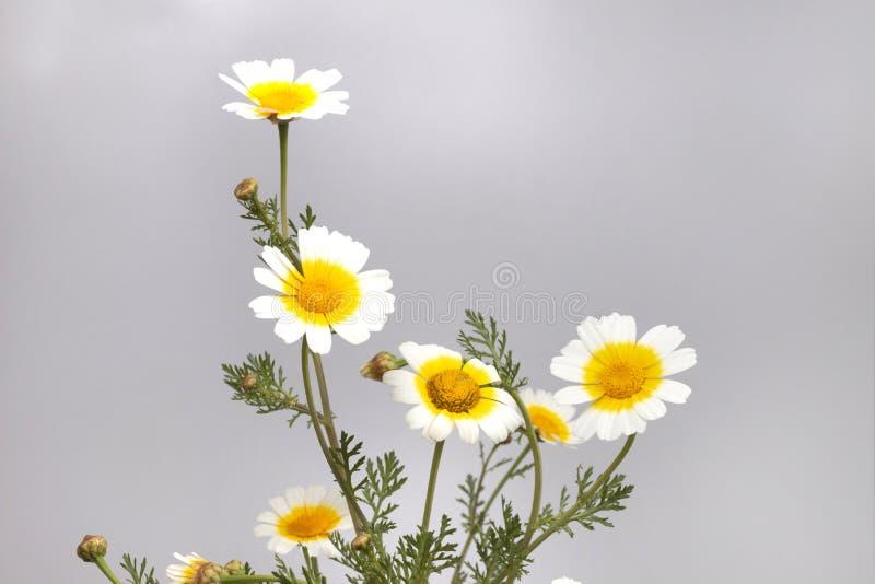 Chrysanthemum coronarium flower. Close up view of the beautiful Chrysanthemum coronarium flower royalty free stock image