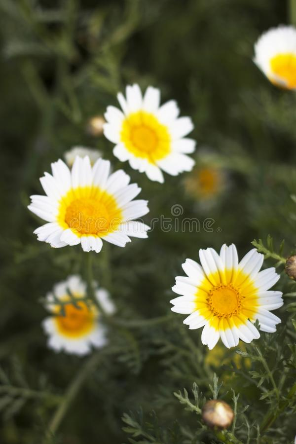 crown daisies in the countryside. stock photos