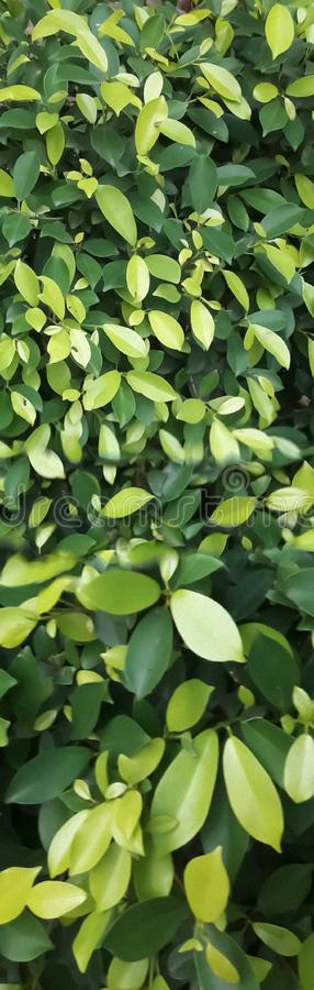 Close-up view of the beautiful and dense foliage of erythroxylaceae shrubs. Erythroxylaceae, or the coca family, contains 4 genera and 240 species of smallish stock photography