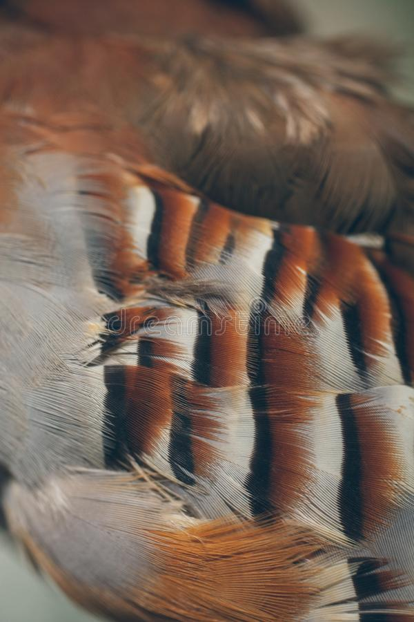 Close up view of beautiful feathers. Partridge feathers as texture and background for design. stock image