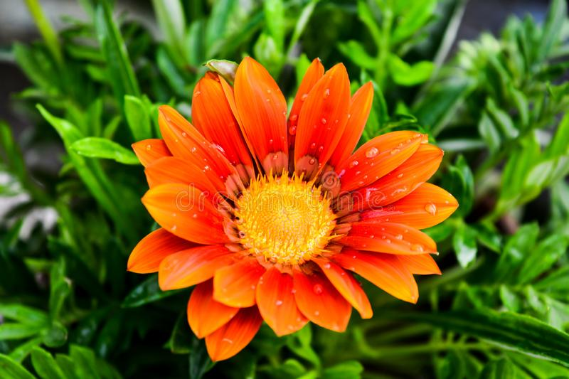 Beautiful Gazania Flower with water dots on its petals royalty free stock photos