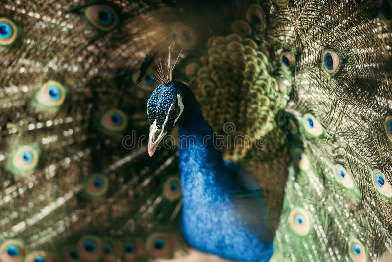 close up view of beautiful peacock with colorful feathers at zoo royalty free stock photos