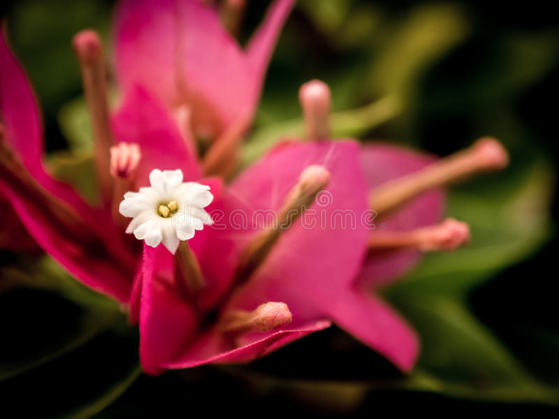 Close up view of a beautiful pink Bougainvillea flower stock photo