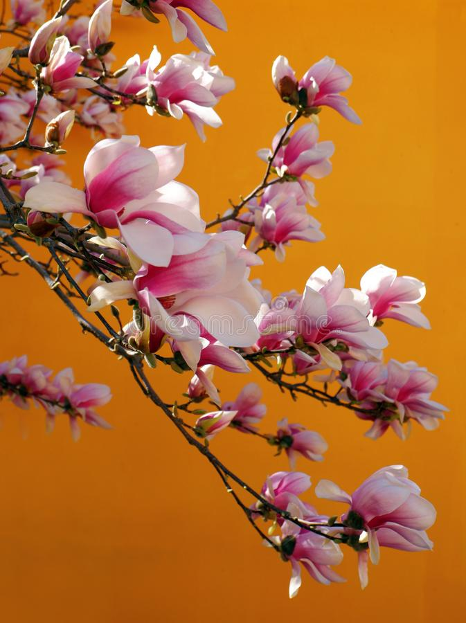 Close up view of beautiful pink magnolia flowers against orange background stock photo