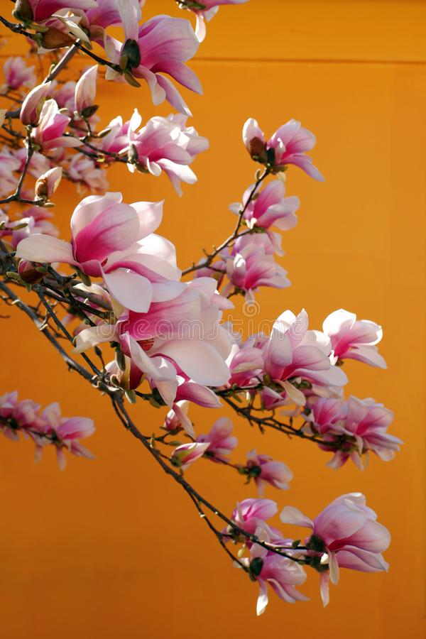 Close up view of beautiful pink magnolia flowers against orange background stock photos