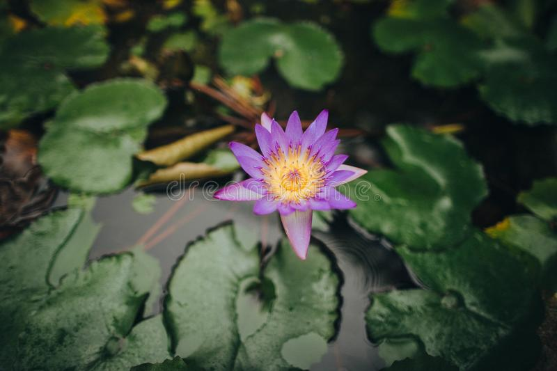 close-up view of beautiful purple lotus flower in calm pond, Hoi An, Vietnam royalty free stock image