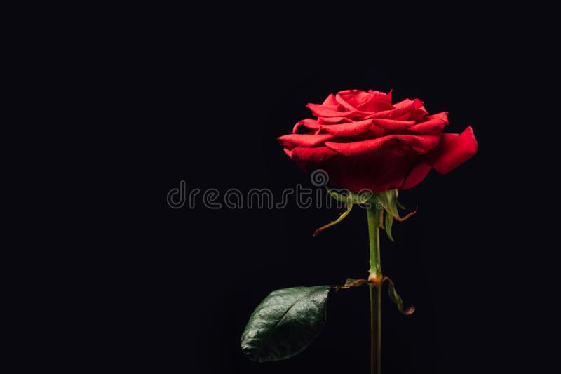 close up view of beautiful red rose isolated on black stock photo