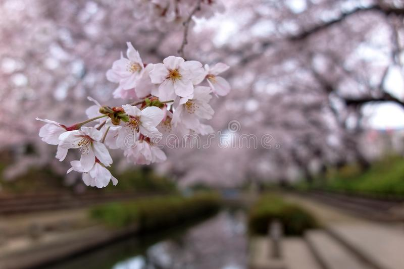 Close-up view of beautiful Sakura flowers by the river bank of a small canal in Fukiage, Saitama, Japan, with cherry blossom trees royalty free stock photos