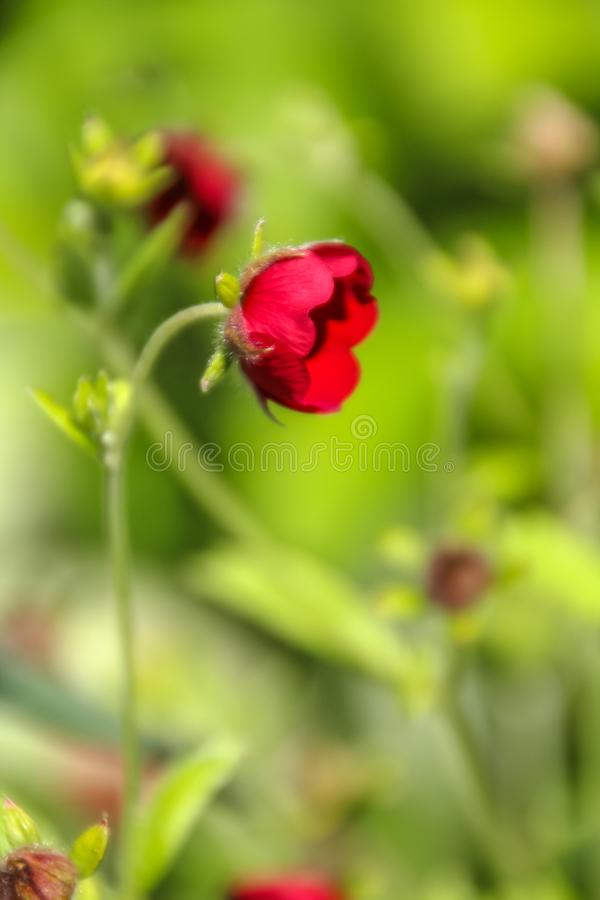 Close up view of a beautiful tiny red flower against yellow- green meadow background. stock photo