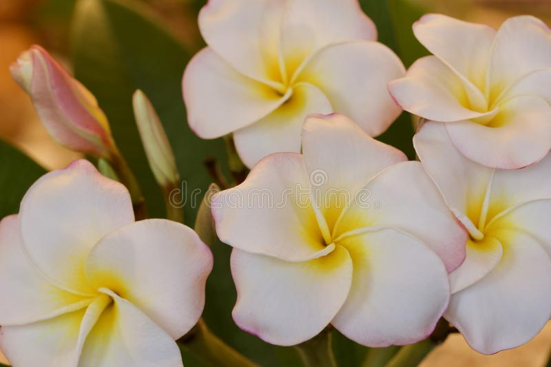 Close up view of beautiful white flowers on an indoor blooming rainbow plumeria frangipani plant stock images