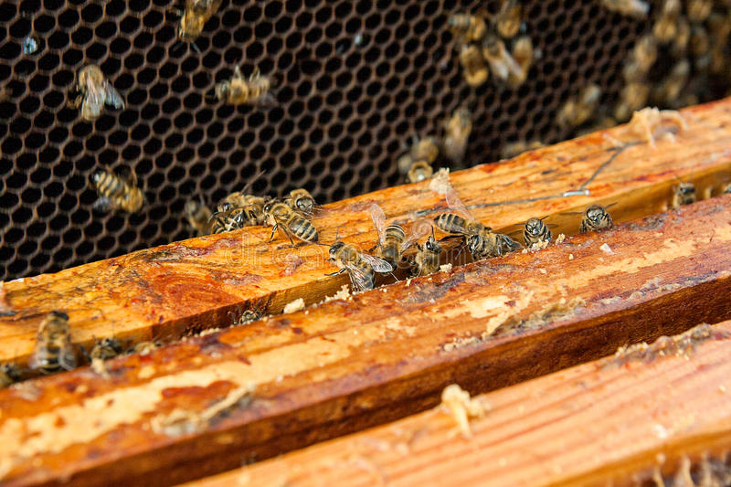 Close up view of the bees swarming on a honeycomb. Close up view of the opened hive body showing the frames populated by honey bees stock image