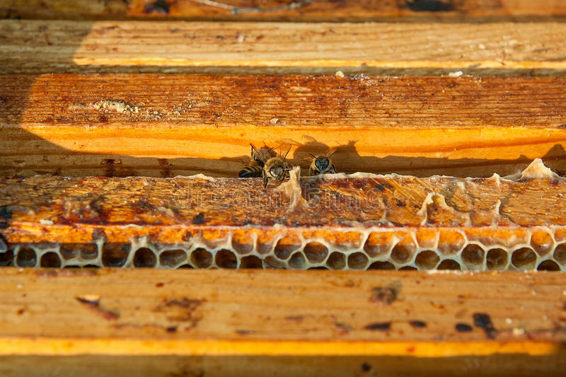 Close up view of the bees swarming on a honeycomb. Close up view of the opened hive body showing the frames populated by honey bees royalty free stock photography
