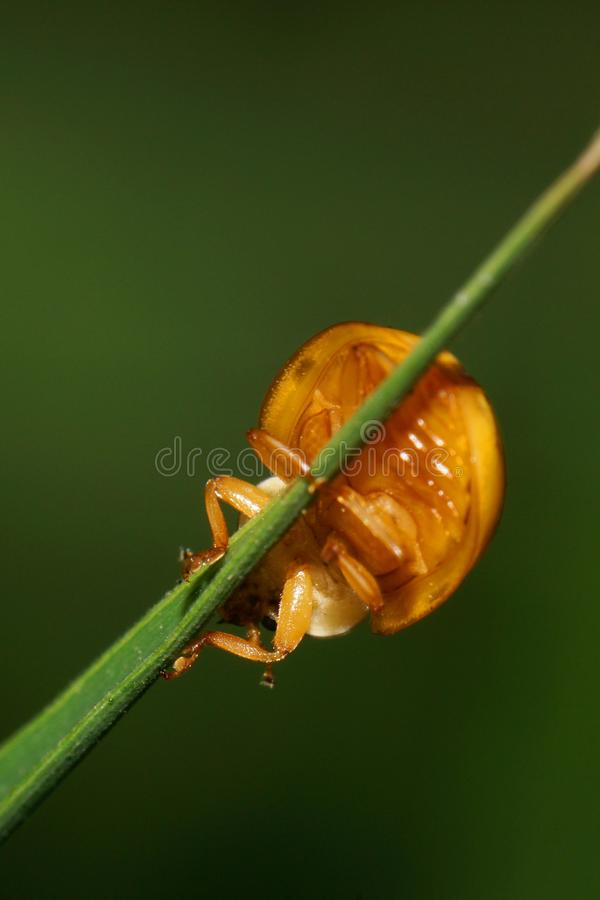 Close-up view from below of Caucasian yellow ladybug on narrow g royalty free stock images