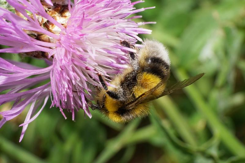 Close-up view from below of yellow-black caucasian bumblebee Bom royalty free stock images