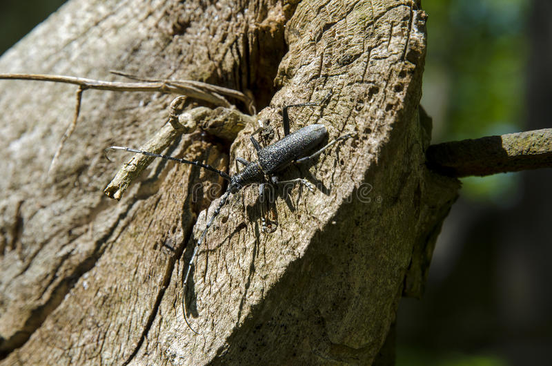 A close-up view of a black beetle with long rodents climbing a wooden stump royalty free stock photo
