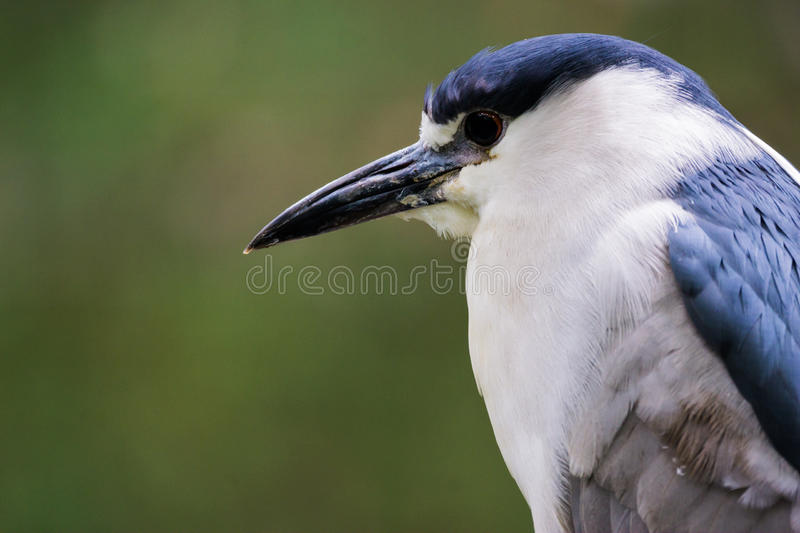 Close up view of a black crowned night heron. Portrait of a black-crowned night heron with a green background and copy space royalty free stock images