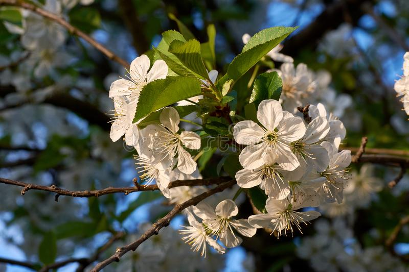 Close-up view of blossom tree cherry with defocused branches and leaves on background, under evening sky with sunshine stock photo